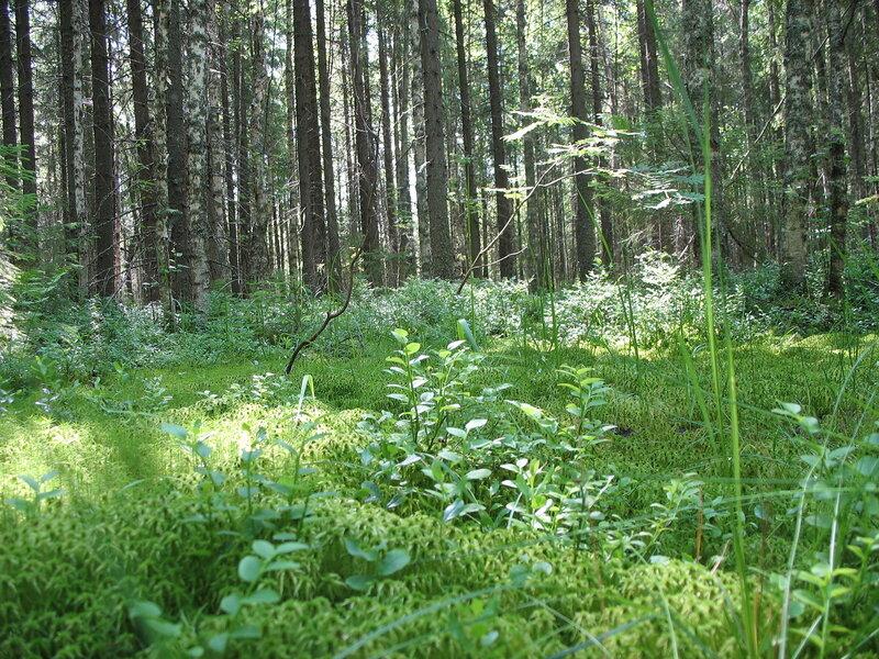 Заболоченый лес