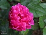Посдедние розы сезона. Сентябрь-октябрь 2015