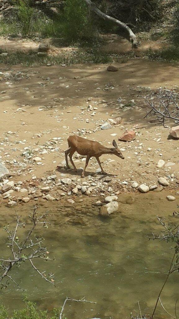 Юный оленёнок у ручья