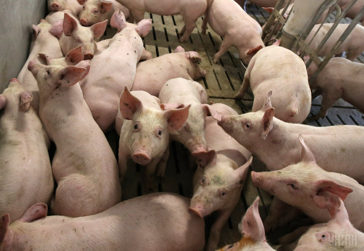 ВУкраинском государстве  зарегистрировали новую вспышку чумы свиней под Полтавой