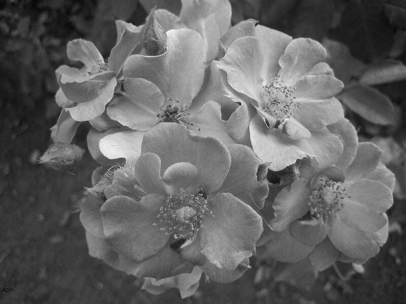 цветы в черно-белом