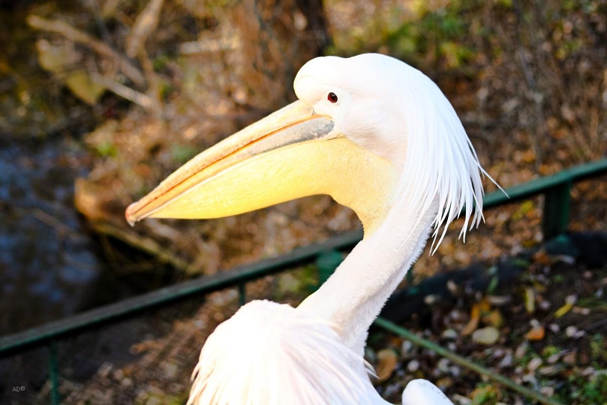 Пеликаны 2008