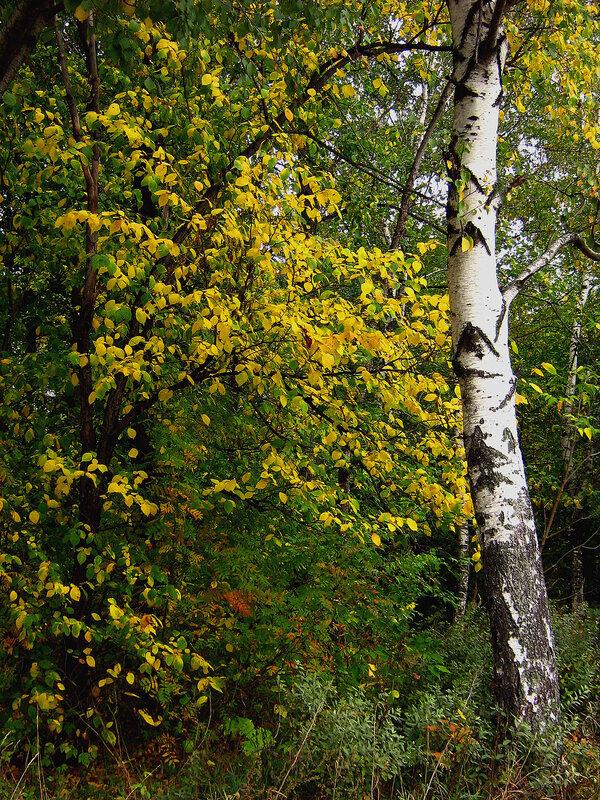 Осень и береза