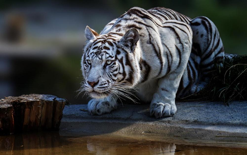 ©Jean-Claude Sch. Белый тигр.