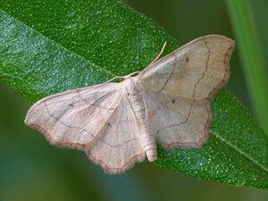 s:дневные бабочки,c:кремовые