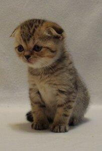 черный пятничтый шотландская вислоухая )фолд_, короткошерстная кот
