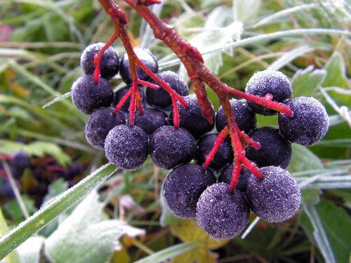 Лечение черноплодной рябиной