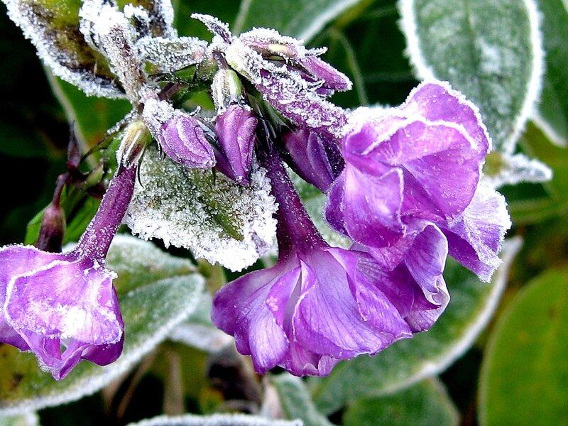 Флоксы - замороженная красота