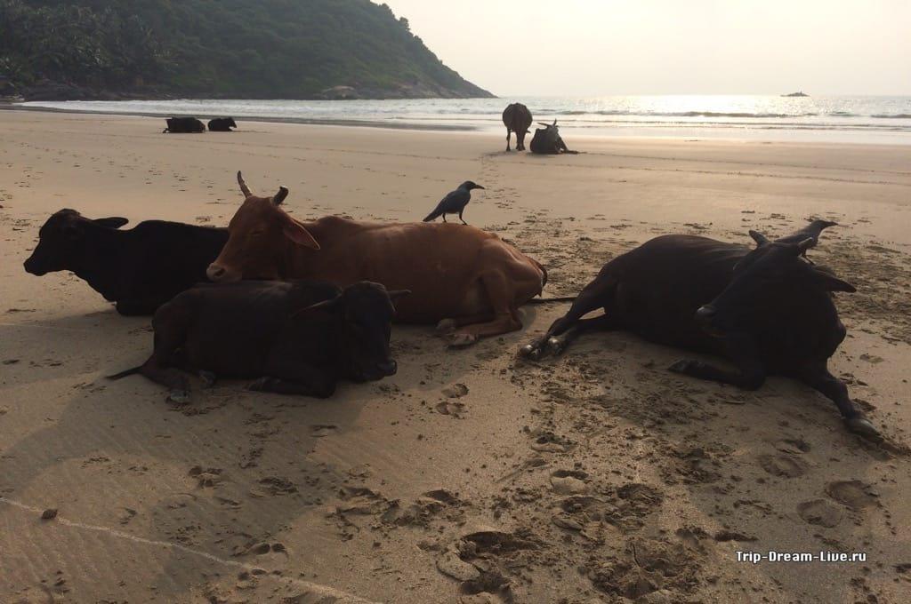 Коровки укладываются спать на пляже