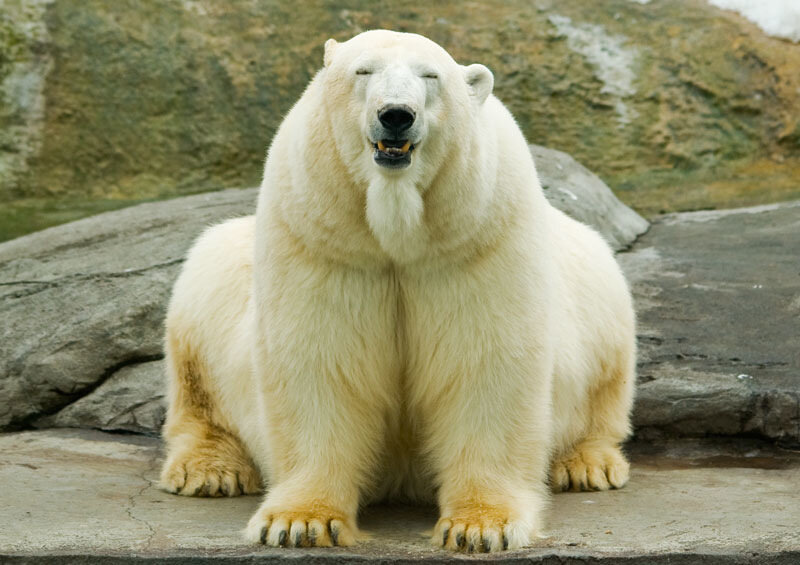 Baby polar bear black and white