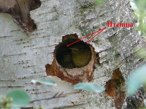 Птенцы горихвостки