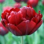 Tulip Merlot Collection