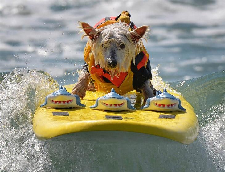 Собачий серфинг в Калифорнии (19 фото)