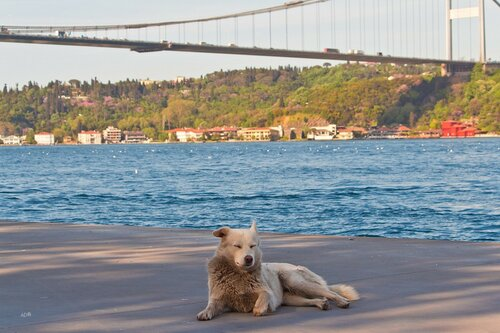 Bosphorus (in the kingdom of cats)