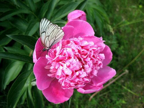 Пион с бабочкой.