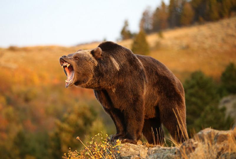 Охотник, которого вырвали из лап гризли, слышал хруст собственных костей