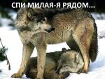 волки-3.jpg