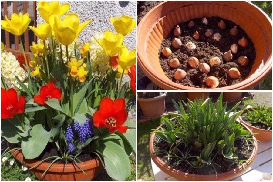 Как правильно сажать луковичные цветы дома в горшок 27