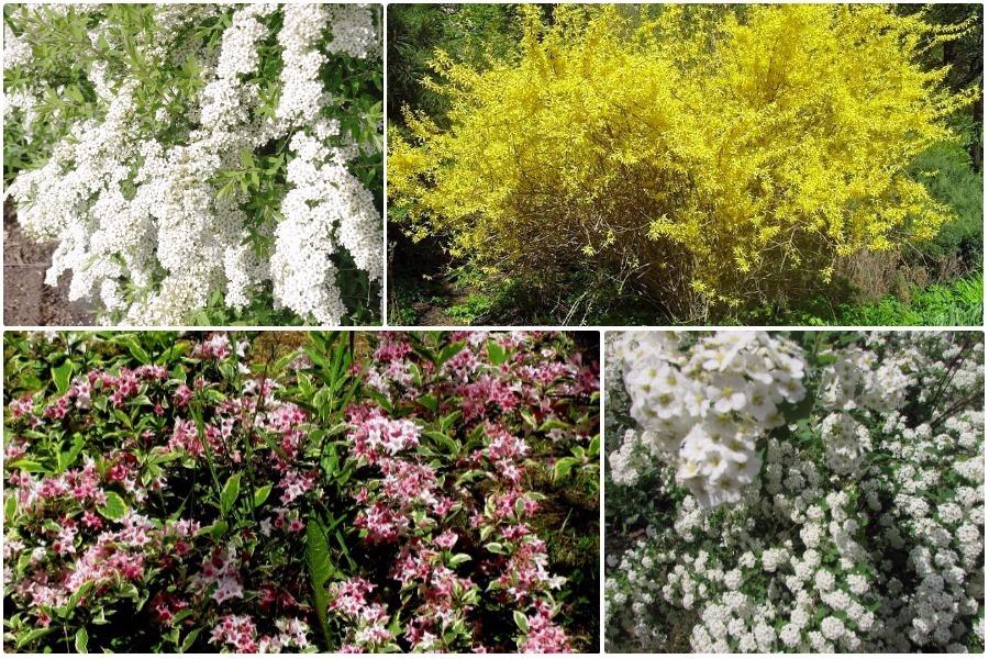 Самые эффектные кустарники, цветущие весной