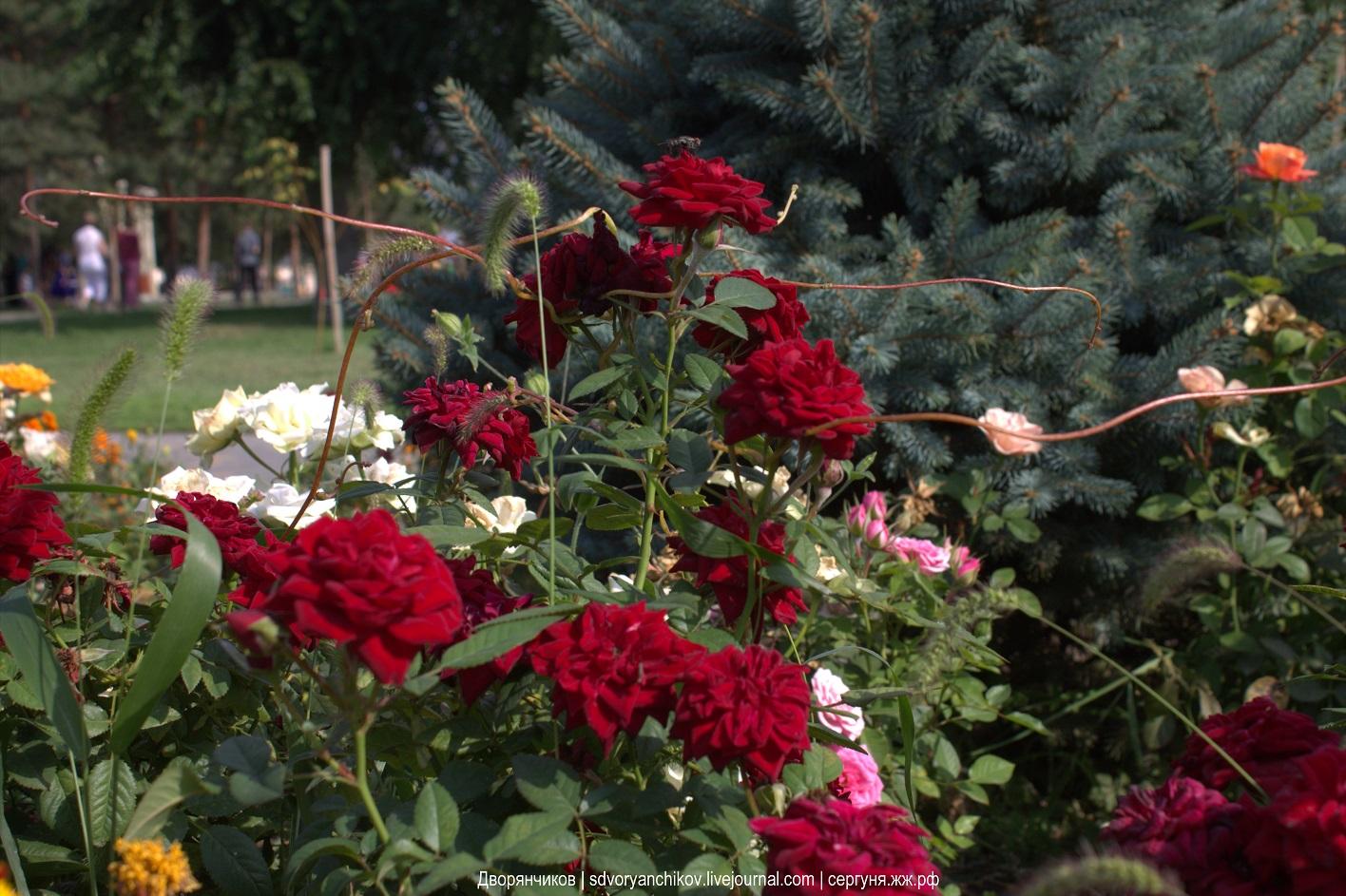 Розы - парк Дружбы - Волгоград-Баку 17-09-2017