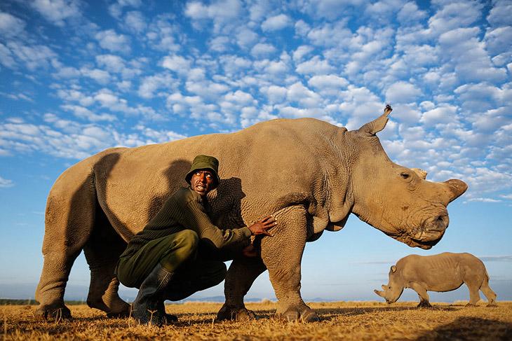 Последний белый носорог на планете (10 фото)