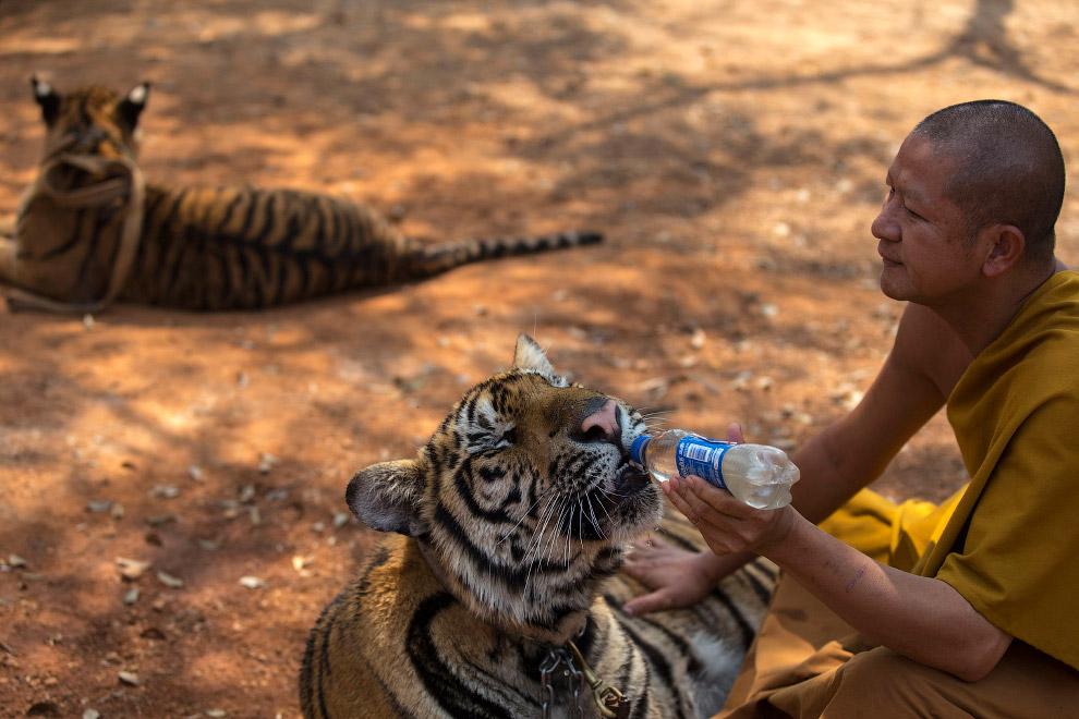 17. Тигры и волонтер. Вдали видны туристы. (Фото Athit Perawongmetha):