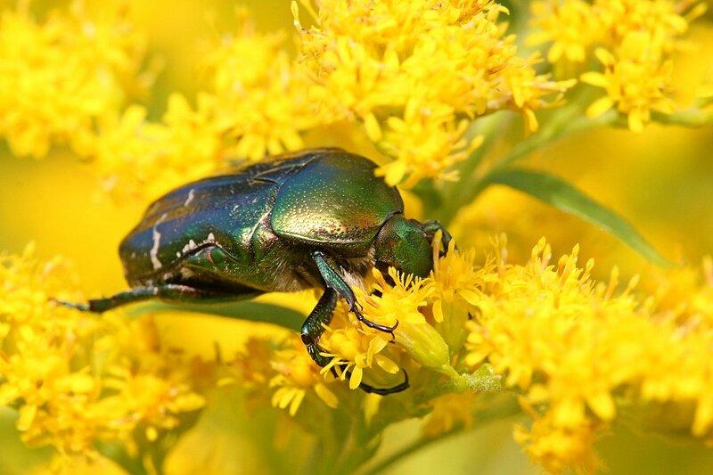 Крупный зелёный металлически блестящий жук бронзовка обыкновенная (Cetonia aurata) обедает нектаром на ярко-жёлтых цветах золотарника