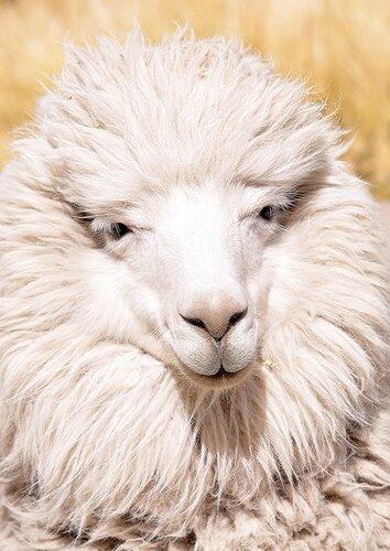 Нерусские ламы-дамы живут в Перу и в Москве