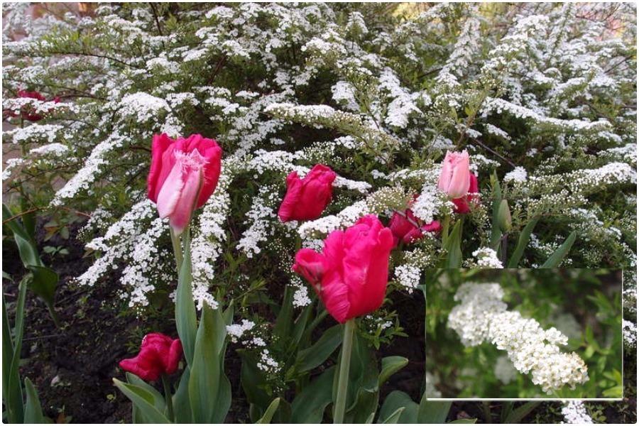 Самые эффектные кустарники, цветущие весной-спирея грефшейм с тюльпанами