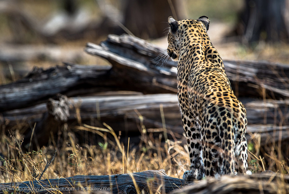 3. Леопарды бдительны и хитры. Часто подкрадываются незаметно и резко атакуют. Прыгнуть они м
