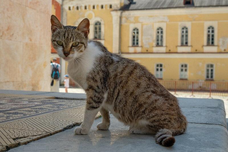 кошка в Новом Афоне у монастыря, смотрит в объектив