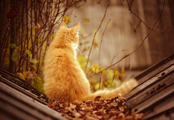 Открытки. Яркая осень! Рыжий кот встречает осень открытки фото рисунки картинки поздравления