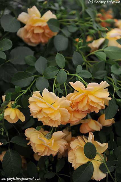 Rosa Dame Judy Dench (1).JPG