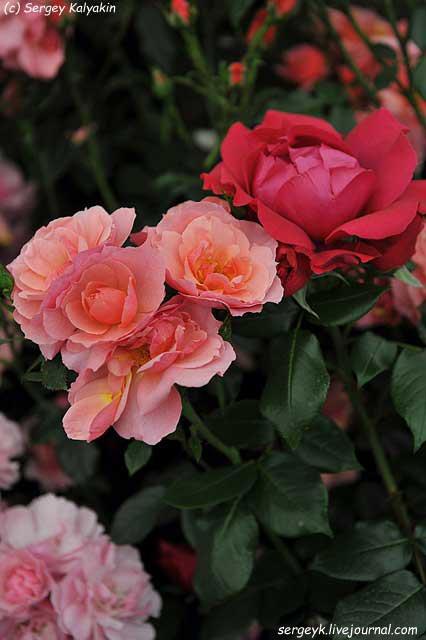 Rosa Margaret Greville (1).JPG