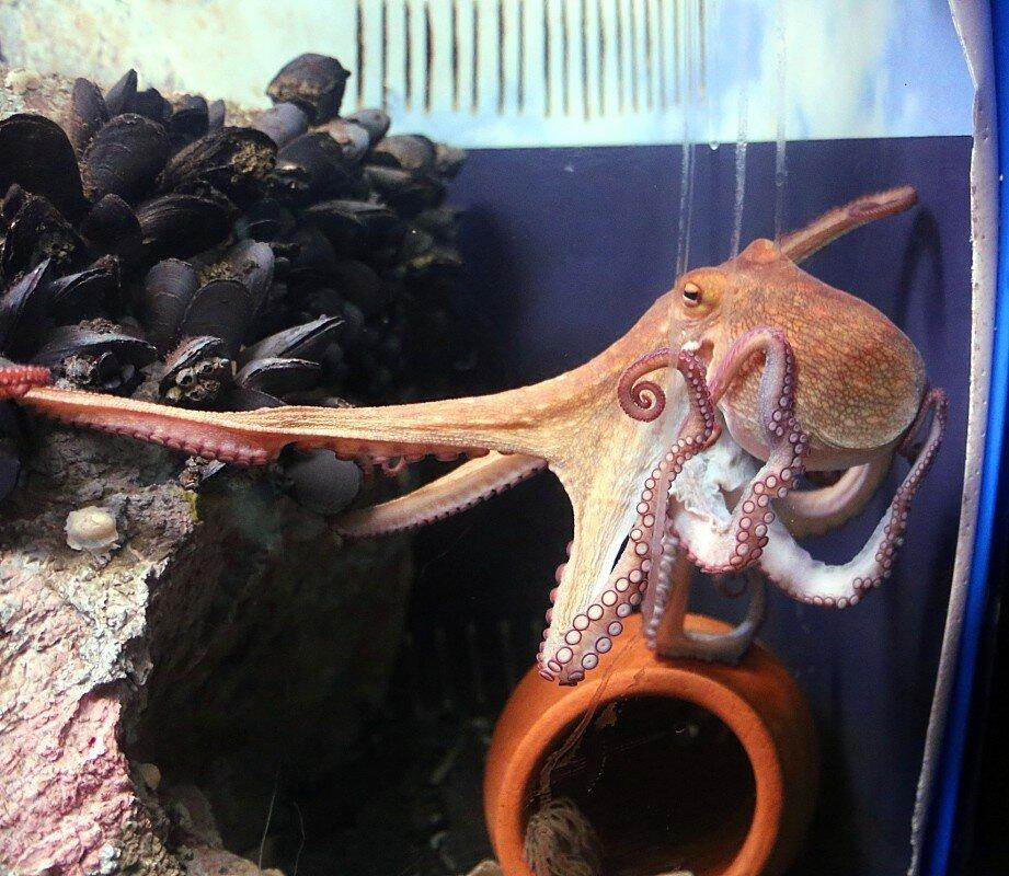Осьминог. Аквариум музея Альбораниа в Малаге