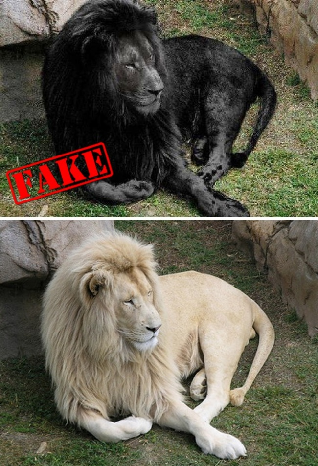 © paulie-svk  © hoaxes  Великолепное фото величественного красавца-льва черного цвета по