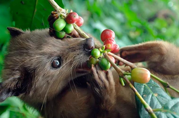 О том, что мусанги не переваривают кофейные зерна до конца, аборигены знали давно, и вот это знание
