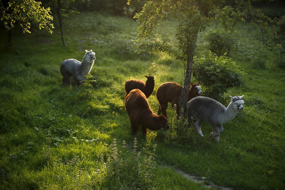13. Альпаки возле фермы. Португалия, 11 мая 2015. (Фото Rafael Marchante | Reuters):