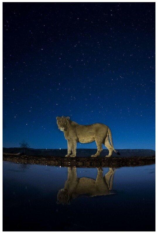 10 августа. Молодой лев