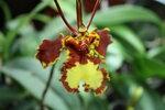 Орхидеи - Psychopsis papilio