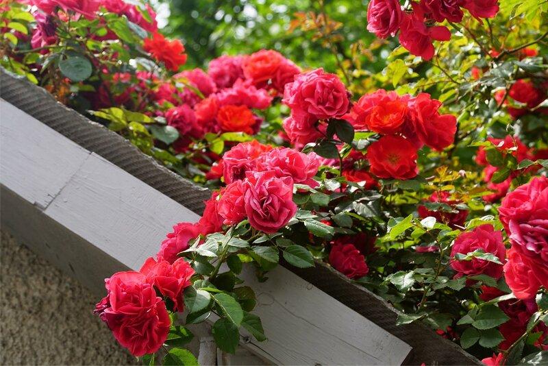 Розы с Гвардейской улицы