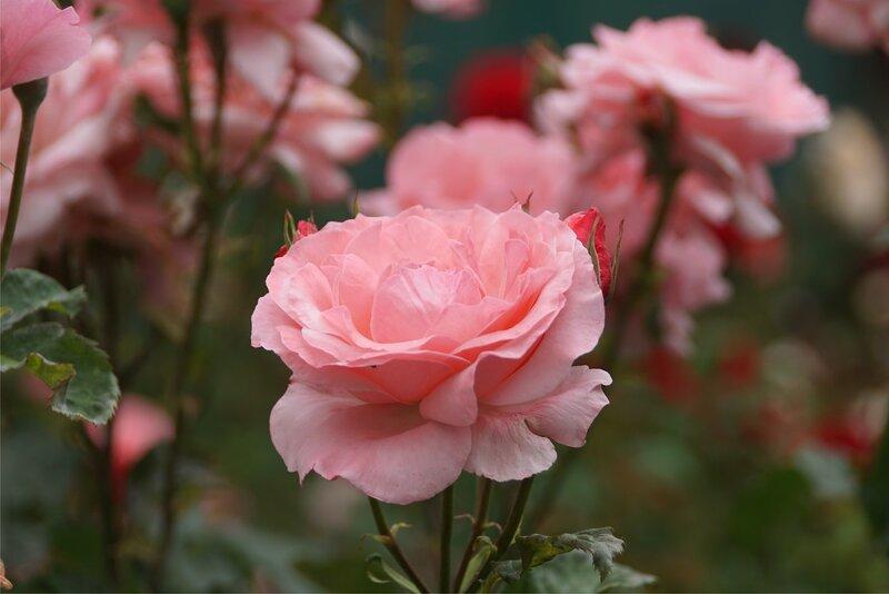 Симферопольские розы