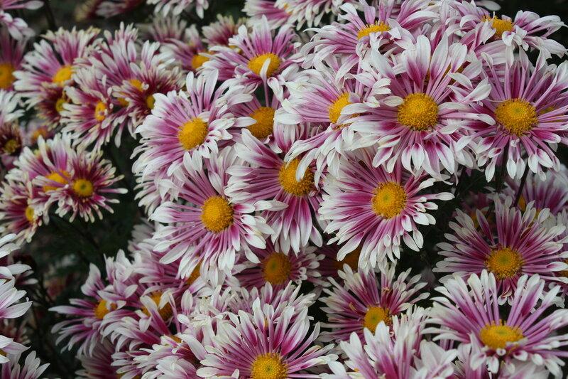 Хризантема садовая Алиса селекции Никитского ботанического сада