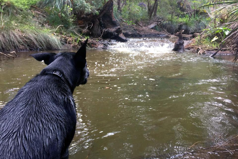 Неожиданная встреча: парень с собакой и кенгуру-качок в реке