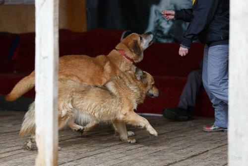 Рыжик Дюстэр собака из приюта догпорт фото