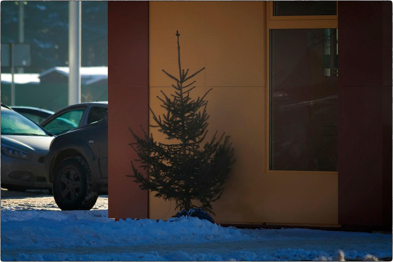 Молодая ель у кофейни Подорожник на остановке Серябряный бор [© NickFW - 25.11.2017]