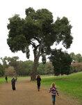 вечнозеленый дуб (California live oak)