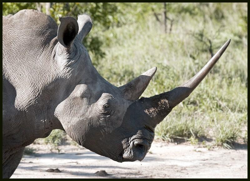 Вьетнамцы считают молотый рог носорога (который обычно заливают кипятком) панацеей от всего н