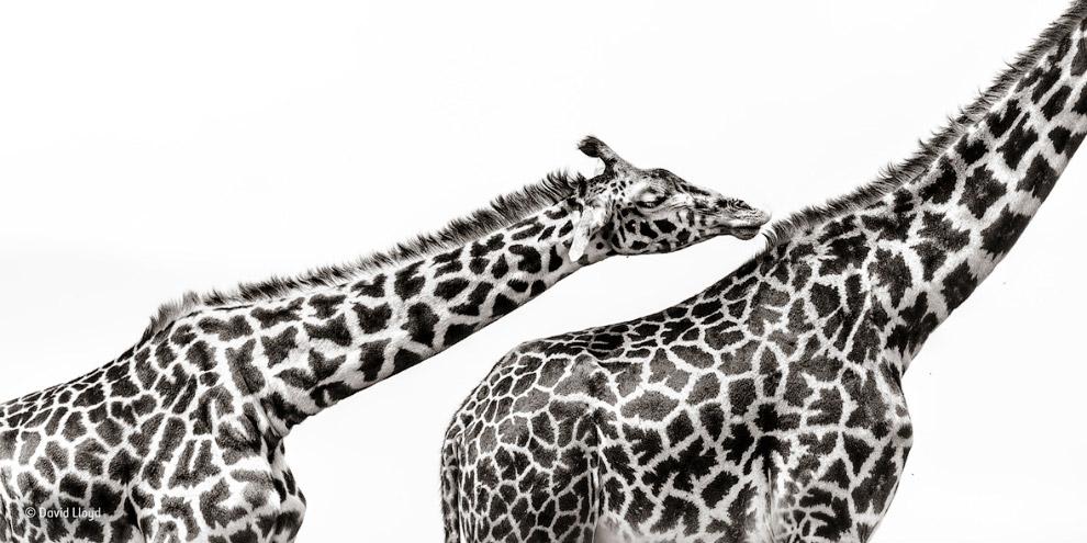 15. Стая неразлучников Лилианы. Обитает птица на востоке Замбии, севере Мозамбика, юге Танзании и в