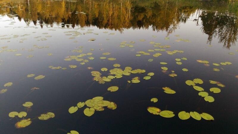 Кувшинки, Пчелинское озеро
